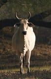 印第安语婆罗门的牛 免版税库存照片