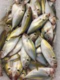 印第安鲭鱼 图库摄影