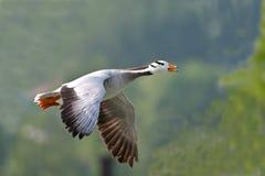 印第安鹅 免版税库存图片