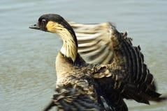 印第安鹅 免版税库存照片