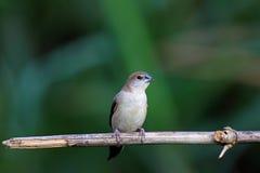 印第安lonchura malabarica silverbill 图库摄影