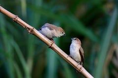 印第安lonchura malabarica silverbill 库存照片