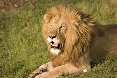 印象深刻的狮子 库存照片