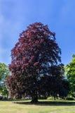 印象深刻,立场单独紫叶欧洲山毛榉 免版税库存照片