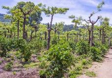 危地马拉咖啡种植园 免版税库存照片