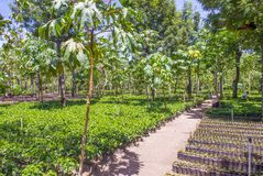 危地马拉咖啡种植园 免版税库存图片