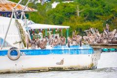 从危地马拉的鹈鹕 免版税库存图片