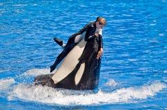 危险凶手培训人鲸鱼 免版税库存图片