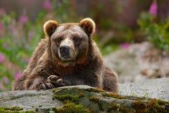 危险动物在自然栖所,俄罗斯 从自然的野生生物场面 负担与开放枪口、舌头和牙 眉头画象  图库摄影