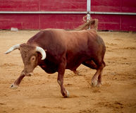 危险勇敢的棕色公牛的斗牛场 免版税库存照片