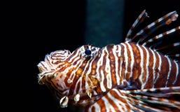危险和venomus狮子鱼 免版税库存照片