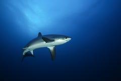 危险大鲨鱼红海 免版税图库摄影