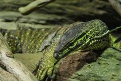 危险毒大蜥蜴科莫多岛 免版税库存照片