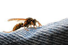 危险潜伏的黄蜂 库存照片