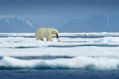 危险熊坐冰,美丽的天空蔚蓝 极性在挪威海涉及与雪的流冰边缘和水 空白 免版税库存图片