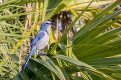 危险的佛罗里达洗刷棕榈叶状体的杰伊 图库摄影