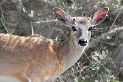 危险的佛罗里达钥匙鹿(空齿鹿属virginianus clavium) 库存照片