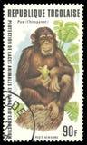 危险的动物,黑猩猩 免版税图库摄影