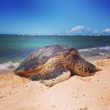 危险的夏威夷海龟 免版税库存图片
