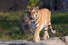 危险的少见休息的西伯利亚老虎 免版税库存图片