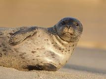 危险的斑海豹 免版税库存图片