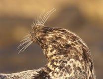 危险的斑海豹 免版税库存照片