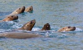 危险的星海狮 免版税库存照片