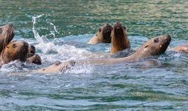 危险的星海狮 免版税图库摄影