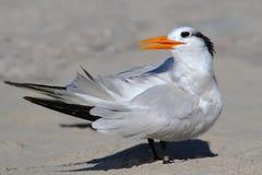 危险的最大数量皇家胸骨燕鸥 库存照片