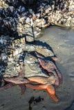 危险的海星紧贴对岩石 免版税库存图片
