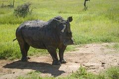 危险的白色犀牛,北部肯尼亚,非洲特写镜头在Lewa野生生物管理的 免版税库存照片