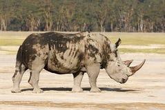 危险的白色犀牛 库存照片