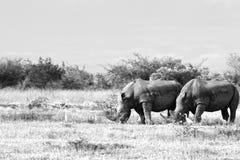 危险的白色Rhinocerous 库存照片