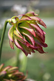 危险的花种类 库存图片