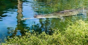 危险的苗条口鼻部Gharial鳄鱼 库存图片