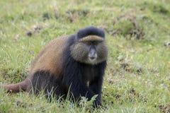 危险的金黄猴子成人,火山国家公园,卢旺达 免版税库存图片