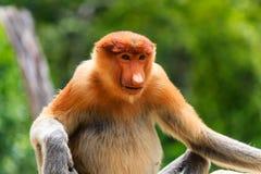 危险的长鼻猴在婆罗洲的美洲红树森林里 库存图片