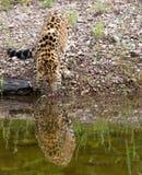 危险的阿穆尔河豹子 库存图片