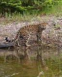 危险的阿穆尔河豹子 免版税库存图片