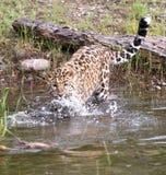 危险的阿穆尔河豹子 免版税库存照片