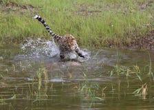 危险的阿穆尔河豹子 图库摄影