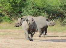 危险的非洲黑色犀牛-堡垒 图库摄影