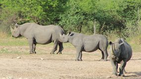 危险的非洲黑色犀牛-堡垒2 库存图片