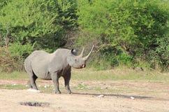 危险的非洲黑色犀牛-母牛次幂 免版税库存图片