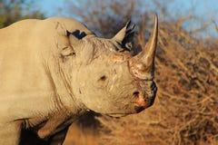 危险的非洲黑色犀牛 免版税图库摄影