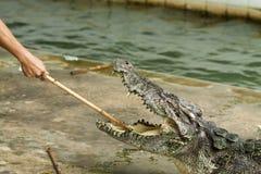 危险的鳄鱼 免版税库存照片