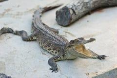 危险的鳄鱼 库存图片