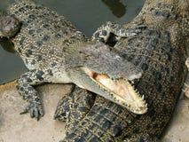 危险的鳄鱼 免版税库存图片