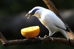 危险的鸟---巴厘岛椋鸟科 库存照片