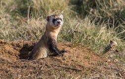 危险的黑有脚的白鼬流行在快的观察的一个草原土拨鼠洞穴外面 免版税库存图片